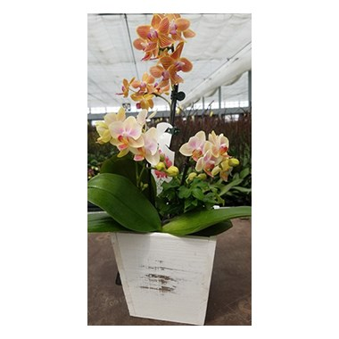 5-in-Wooden-mini-orchid-garden-by-Flowerama