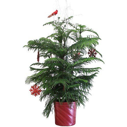 norfolk-island-pine-deluxe-for-holiday-decor
